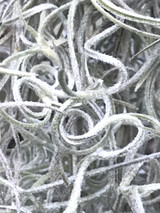 Tillandsia usneoides, Curly Form