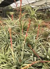 Tillandsia  latifolia v. latifolia