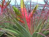 Tillandsia fasciculata 'Chacalapa'