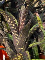 Aechmea orlandiana (Black)
