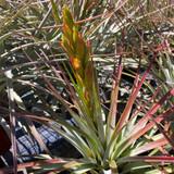 Tillandsia fasciculata (San Mateo Peñasco)