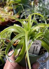 Hechtia tillandsioides