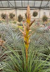Tillandsia rodrigueziana (narrow leaf)