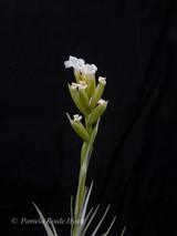 Tillandsia nuptialis