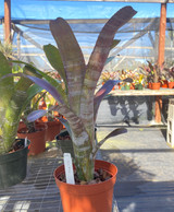 Billbergia hybrid