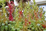Tillandsia 'Samantha' Hits the International Flower Show Circuit