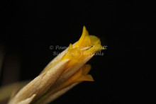 Tillandsia ixioides