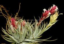 Tillandsia stricta var. albifolia