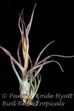 Tillandsia Pruinariza (Tillandsia ariza-julia X T. pruinosa)