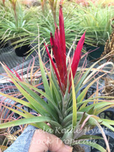 Tillandsia concolor x flabellata