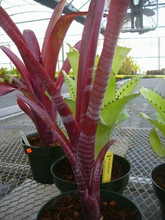 Billbergia 'Flamenco'