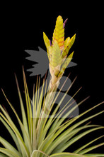 Tillandsia Queen's Torch