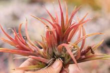 Tillandsia Edmund Campeon - (T. brachycaulos X schatzlii)
