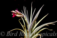 Tillandsia Mystic Flame - (T. albertiana x ixioides)
