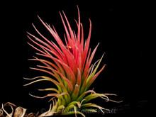 Tillandsia Paul T. - (T. funckiana X ionantha)