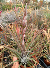 Tillandsia Petite Rouge - (T. circinnatoides X tricolor)