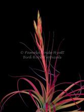 Tillandsia Orange Delight - (T. rothii x tricolor)