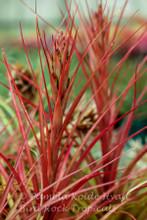Tillandsia Scarlet Fountain -  (T. tricolor x capitata 'Pochutla')