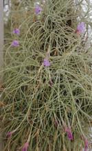 Tillandsia caerulea
