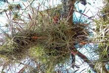 Tillandsia schiedeana subsp. schiedeana (major form)