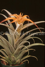 Tillandsia capitata 'Mexico Peach'