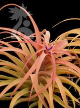 Tillandsia riohondoensis