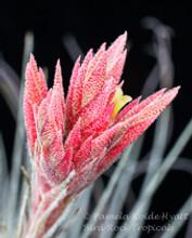 Tillandsia tectorum (Peru)