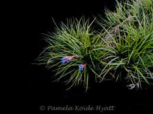 Tillandsia tenuifolia (Blue flowers)