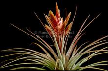 Tillandsia fasciculata 'Percal'
