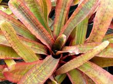 Neoregelia ampullacea (variegated)