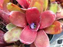 Neoregelia lilliputiana x Break of Day