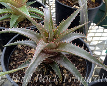 Dyckia pulquinensis