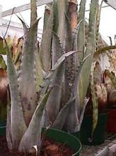 Hohenbergia species