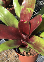 Neoregelia War Paint