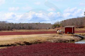 Photo - Scenic Cranberry Bog