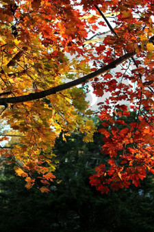 Photo - Leaves of Fall