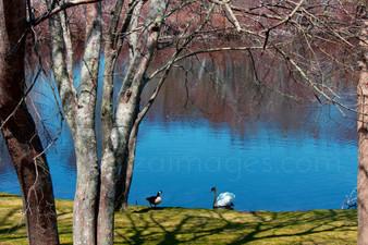 Ducks Hyannis Port Pond