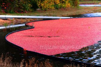 Photo - Cranberry Harvest Cape Cod