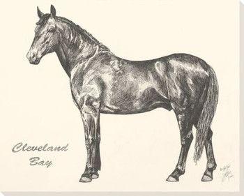 Cleveland Bay Horse Wrapped Canvas Giclee Print Wall Art