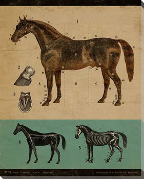 Vintage Educational Chart Horse Wrapped Canvas Giclee Print