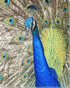 Peacock Bird Wrapped Canvas Giclee Art Print Wall Art