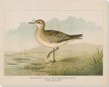 Sharp Tailed Sandpiper Bird Wrapped Canvas Giclee Print Wall Art
