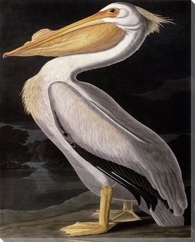 American White Pelican Bird Wrapped Canvas Giclee Print Wall Art