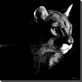 Wildlife Scratchboards Cougar VII Wrapped Canvas Giclee Print