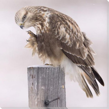 Rough Legged Hawk Bird Wrapped Canvas Giclee Art Print Wall Art