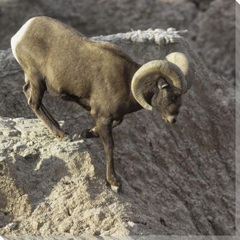 Downhill Ram Wrapped Canvas Giclee Art Print Wall Art
