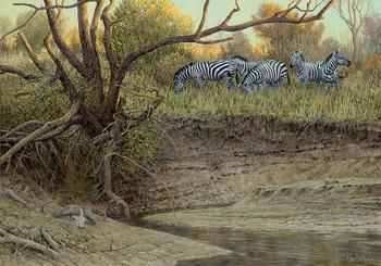 Cutbank Zebras Canvas Giclee Art Print Wall Art