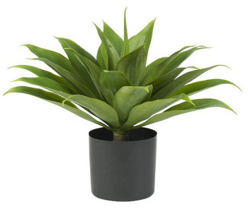 Agave Silk Plant