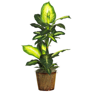 "42"" Golden Dieffenbachia with Basket Silk Plant"