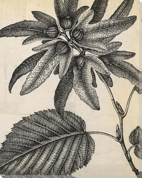 Botanical Etching V Wrapped Canvas Giclee Art Print Wall Art